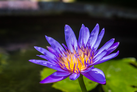 Purple lotus under morning sunshine photo