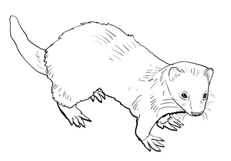 belonging: Drawing of ferret ,a mammal belonging to the weasel genus of the family Mustelidae.