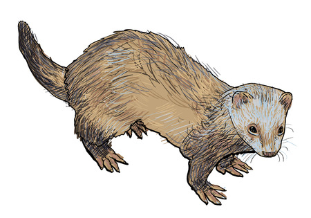 Drawing of ferret ,a mammal belonging to the weasel genus of the family Mustelidae.