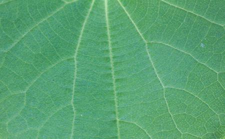 Macro of green aristolochia leaf