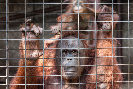 Orangutan with her baby in cage photo