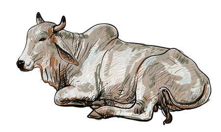brahman: Drawing of resting white cow,American Brahman