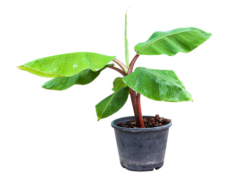 Banana is sprouting in pot and apply fertilizer by sawdust and coir with clipping path Stock Photo