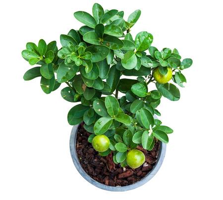 sembrando un arbol: Aislados de plantas de limonero joven en la olla con trazado de recorte de la vista superior