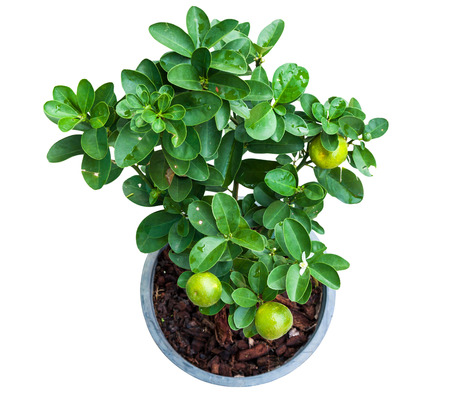 Isolated Young lemon tree plant in pot with clipping path from top view Stock Photo
