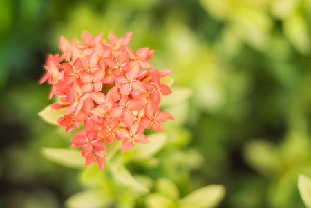 Close up of red ixora flower photo