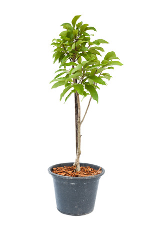 White champaka tree plant in flowerpot on white with clipping path