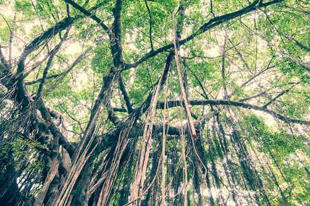 Branch of a banyan tree with long vine from top to ground photo