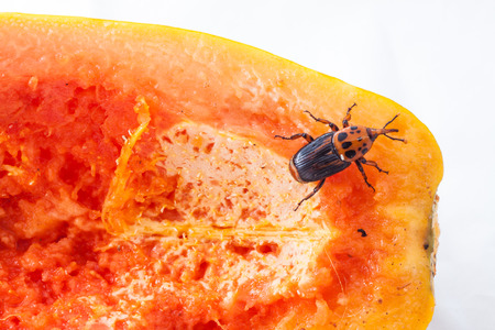 weevil: Red palm weevil on ripe papaya Stock Photo