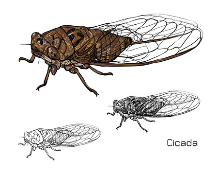 Drawing of cicada on white background.vector illustration