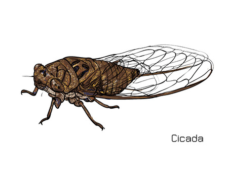 cicada: Drawing of cicada on white background.vector illustration