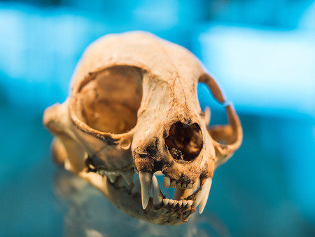 fang: Animal skull with fang on blue background