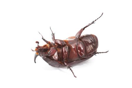 overturn: Overturn pose of Coconut rhinoceros beetle on white background