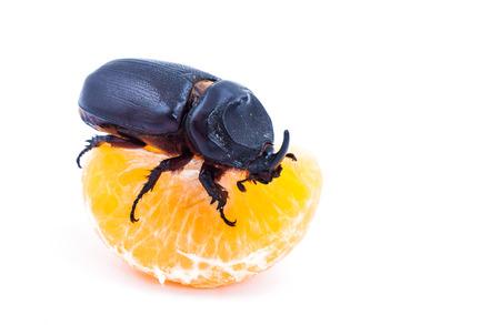 overturn: Coconut rhinoceros beetle on peeled orange on white background