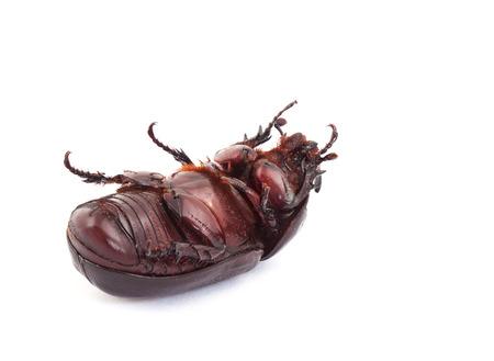 overturn: Ribaltare posa di rinoceronte di cocco scarabeo su sfondo bianco Archivio Fotografico