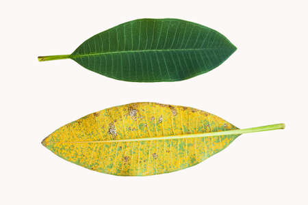 pat: Isolated plumeria leaf one normal and one infected by Coleosporium plumeriae Pat or rust fungus on white Stock Photo