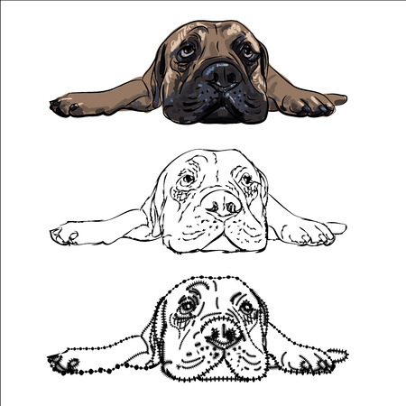 bullmastiff: Drawing of  lying bull mastiff on white background