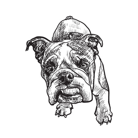 wrinkled face: Drawing of young bulldog on white