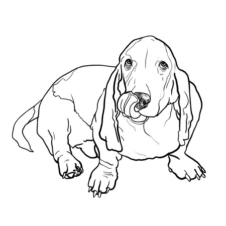 stick out: Adorable basset hound dog sitting and stick out its tongue on white