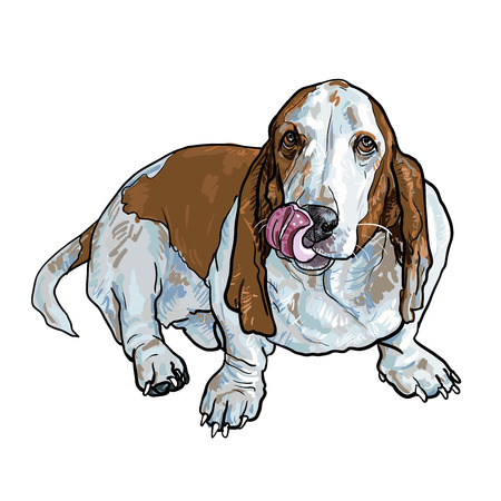 hound: Adorable basset hound dog sitting and stick out its tongue on white
