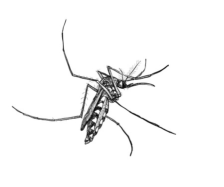 infectious: Sketch of mosquito on white background Illustration