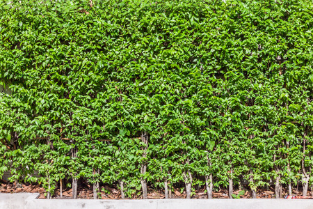 religiosa: Green tree,Wrightia religiosa, wall fence background Stock Photo