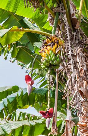 overripe: Bunch of bananas that some overripe  on tree Stock Photo