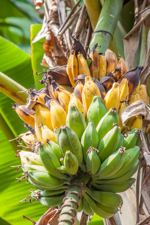 overripe: Bunch of bananas that some overripe  on tree Stock Photo