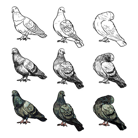 pigeons: Set of pigeons on three pose and styles on white