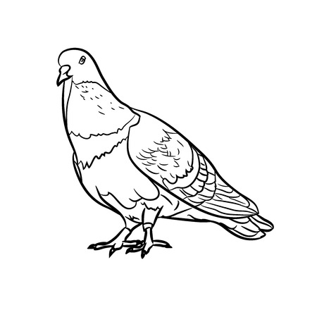 pigeons: Drawing of pigeons on white background
