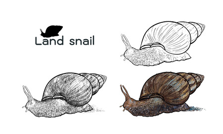 Drawing of crawling land snails  on with white background