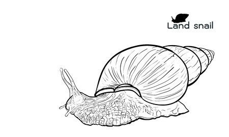 crawling: Drawing of crawling land snails  on with white background