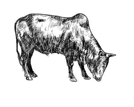 isolated: Drawing of ox isolated on white background