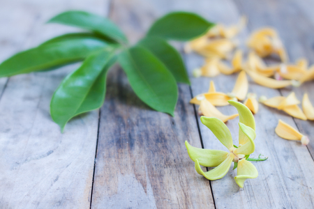 champa flower: Petal of Climbing Ylang-Ylang, Manorangini, Hara-champa, Kantali champa,a tropical flower in Thailand,on wooden background