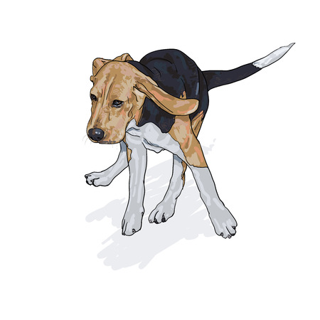 tri  color: Drawing of running beagle with shadow on white background,vector illustration Illustration