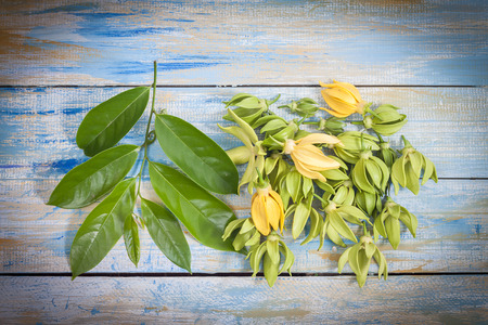 odorous: Ylang-ylang flower and leaf on colorful wooden background Stock Photo
