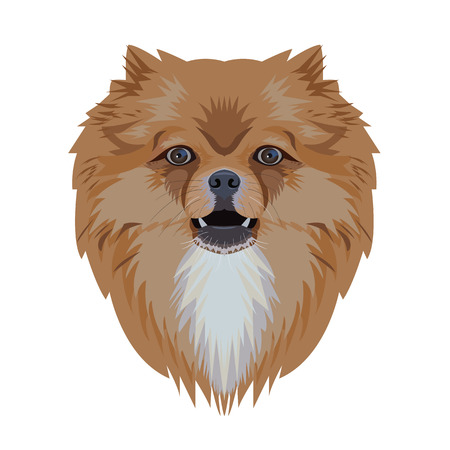 pom pom: Portrait of pomeranian dog isolated on white background