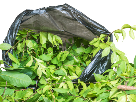 apocynaceae: A pile of cut branch,Wrightia religiosa (Apocynaceae) and climbing ylang-ylang,in garbage bage against white background with path