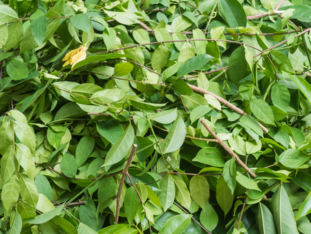 apocynaceae: A pile of cut branch,Wrightia religiosa (Apocynaceae) and climbing ylang-ylang Stock Photo