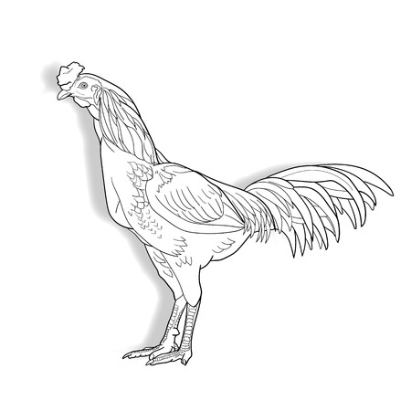 Drawing of Cock isolated on white background,vector illustration