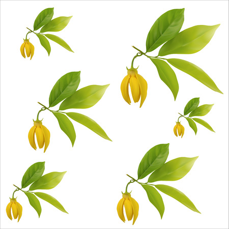Ylang-ylang flower with leaf pattern on white background,vector illustration