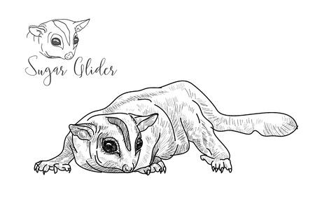 possum: Drawing of sugar glider on white background,vector illustration