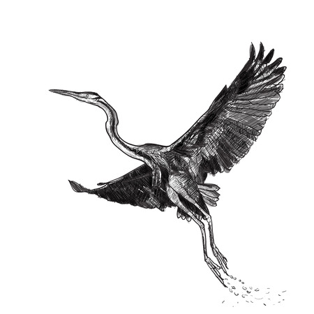 Drawing of flying Purple heron bird on white background,vector illustration Illustration