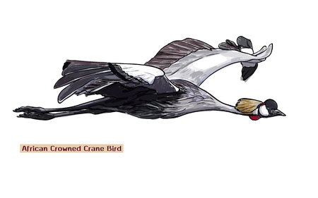 crowned: Drawing flying African crowned crane bird,vector illustration