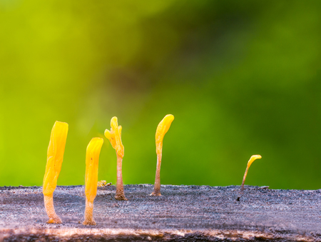 Dacryopinax spathularia,an edible jelly fungus,grows on rotting wood with defocus of green moss background Stock Photo