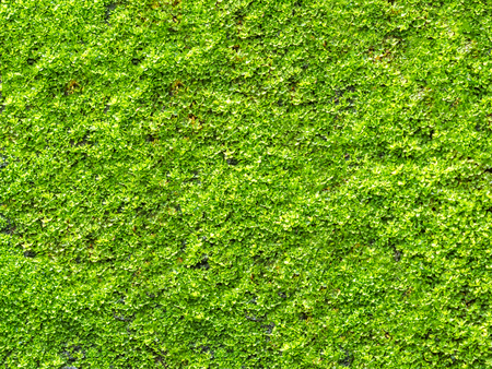 Closeup green moss grow on old wall for use as background Stock Photo