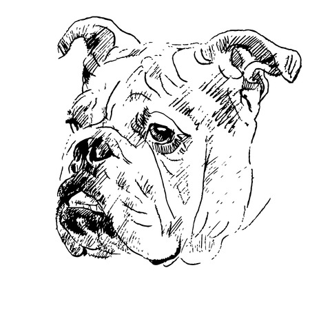 Hand drawing sketch of English bulldog head on white background. Vector Illustration