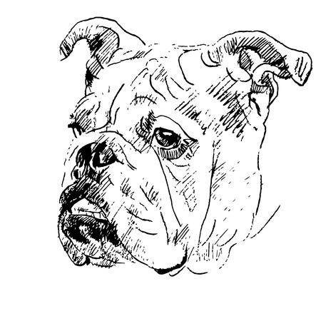 Handzeichnungsskizze des Kopfes der englischen Bulldogge auf weißem Hintergrund. Vektorgrafik