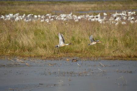 bayou swamp: Ducks in Flight Stock Photo