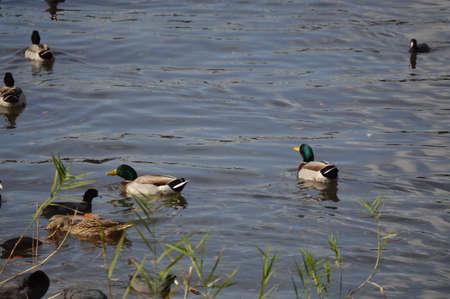 bayou swamp: Mallard Ducks